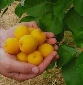 spricots